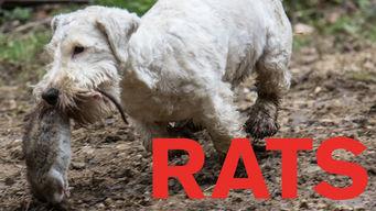 Se Rats på Netflix