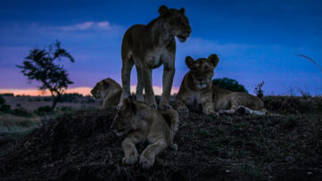 Ny episk naturdokumentar fra Netflix Night on Earth